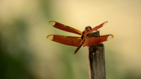Close shot of a dragonfly resting over a dry bamboo pole Footage