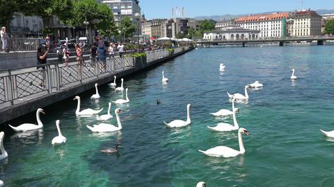 GENEVA, SWITZERLAND - JULY 06, 2017: Swans and ducks in the lake of Geneva Footage