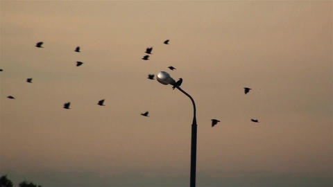 Black birds flying across the sky. On the lamp post sits lonely bird Footage