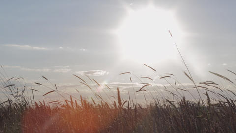 Sunset In A Wheat Field Footage