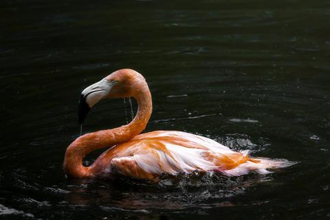 Flamingo floating in the water Fotografía