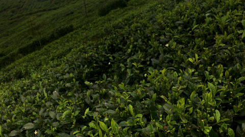 Epic Scene Of Tea Plantation Footage