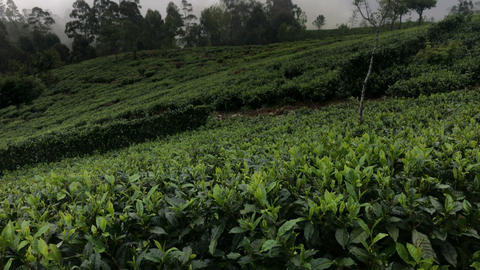 Tea Plantation Sri Lanka Footage