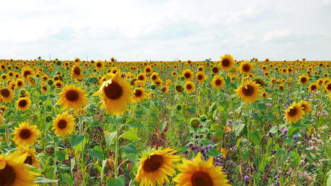 Field of sunflowers with weeds in backlight against a background of clouds Footage