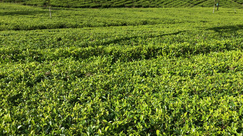 Lipton's seat Tea plant in Sri Lanka Footage