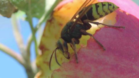 Hornet eats red apple ビデオ