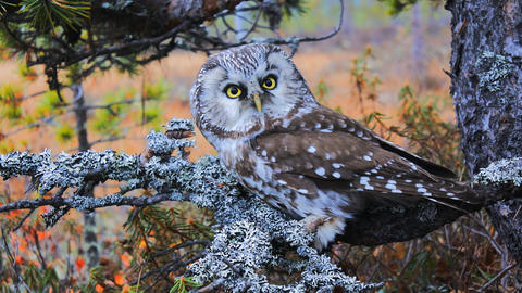 Tengmalm's owl (boreal owl, Aegolius funereus) in typical environment Footage
