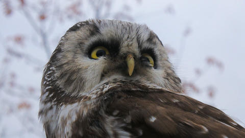 Tengmalm's owl (Aegolius funereus) Live Action
