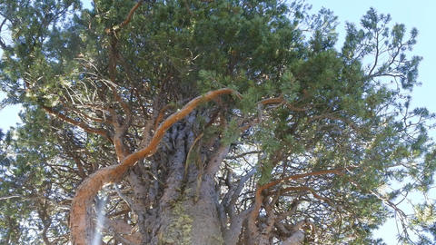 Witches' broom pine tree affected by pest Footage