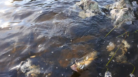 Caught brook trout with spinning Footage