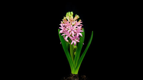 Pink Hyacinth Flower Blooming Timelapse 4K stock footage