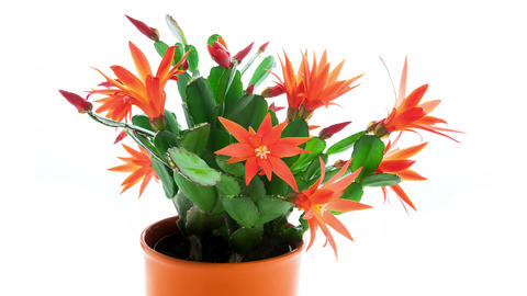 Red Easter Cactus Flowers Opening and Closing Timelapse 4K Footage