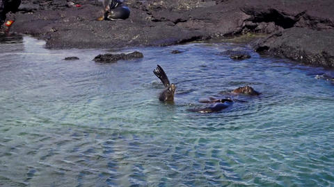 Sea Lions In Shallow Water stock footage