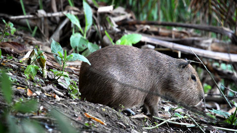 Capybara Closeup Footage