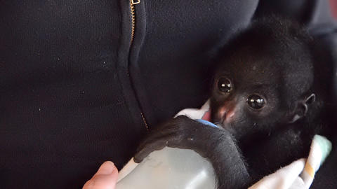 Spider Monkey Bottle Feeding Footage
