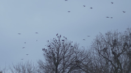 Flock Crow On Desolate Sky stock footage