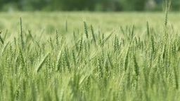 Close-up Of A Green Wheat Field stock footage