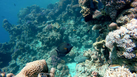 Fish of the coral reef Footage
