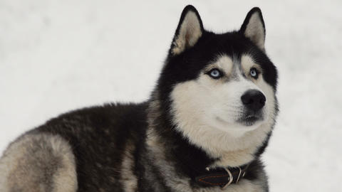 Close-up of a dog's face - a Siberian husky with blue eyes looking directly into Footage