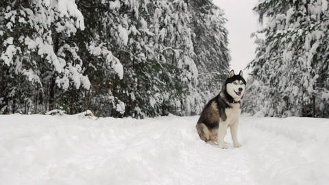 Siberian husky sits in the forest on a path against the backdrop of a winter Footage