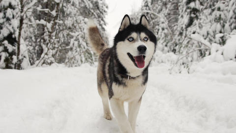 Siberian Husky runs to the camera in the forest on a path against the backdrop Live Action