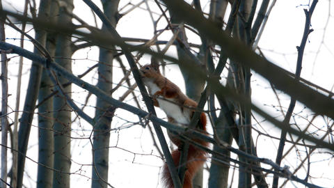 Red Squirrel on tree forest 4k Footage