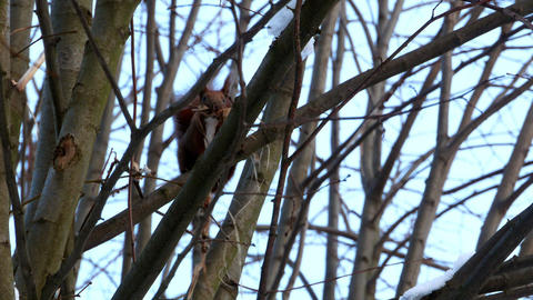 Red Squirrel on tree forest 4k Image