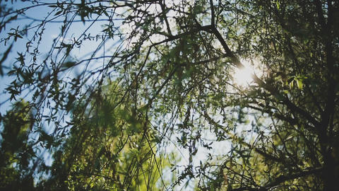 The sun's rays shine through the branches and leaves of the tree Live Action