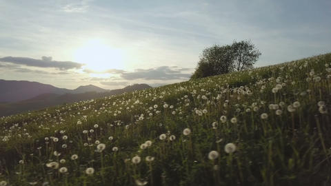 Panning over dandelion meadow at sunset Footage