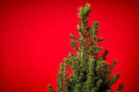 green spruce on a red background フォト