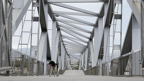 Pointing breed dog walking on modern construction metal bridge ビデオ