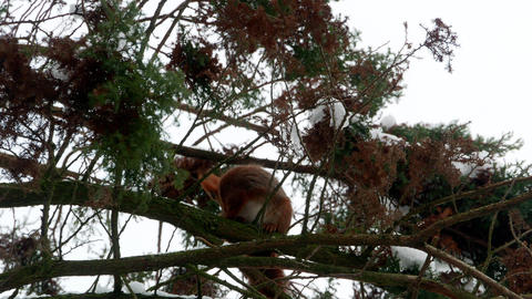 Red Squirrel on tree forest 4k 영상물