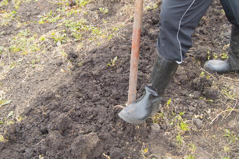 Gardener works in garden, digging the soil for planting in spring, gardening Photo
