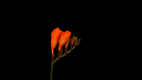 Time-lapse opening orange freesia flower buds with ALPHA channel Footage