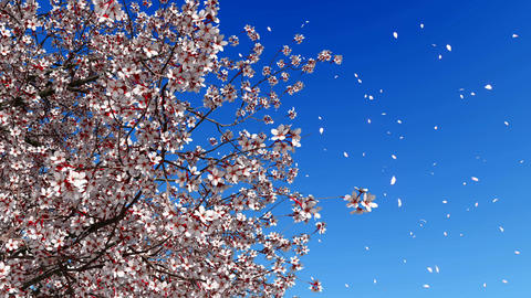 Cherry blossom falling petals slow motion Image