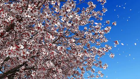 Sakura blossom flower petals in slow-mo Footage