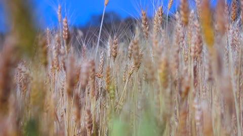 wheat crop 영상물