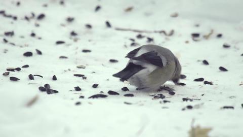 Bullfinch eating seeds Footage