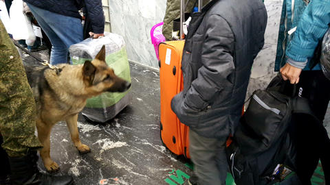 Service dogs looking for drugs in the luggage of passengers 영상물