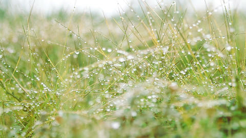 Green grass leaves with drops of dew Footage