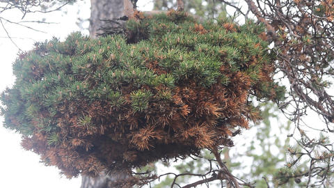 Huge witch-brooms disease on a pine tree Live Action