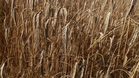 Man hand holding ripe mature wheat ear spike Image
