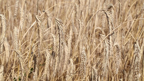 Wheat field shaking in the wind, close up Footage