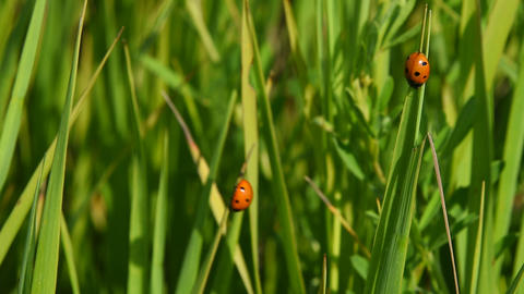 Two lady bugs in green grass in the wind Image