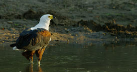 African Fish Eagle drinking in a river in 4k resolution Footage