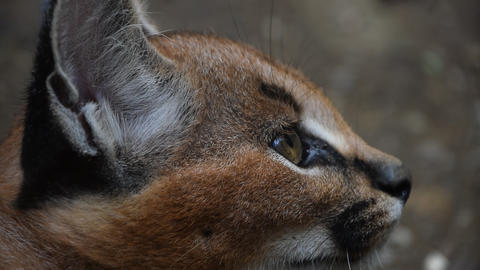 Close up profile portrait of baby caracal kitten Live Action