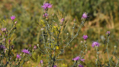 Pink thistle flowers in the wind tremble in the wind under sunshine Footage