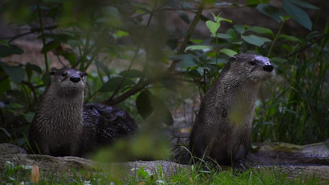 Two giant otters looking around alerted Footage