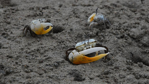 Close up of small fiddler crabs crawling in mud Footage