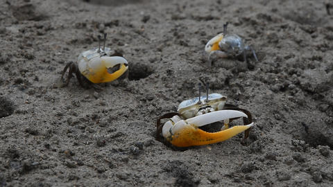 Close up of small fiddler crabs crawling in mud Stock Video Footage